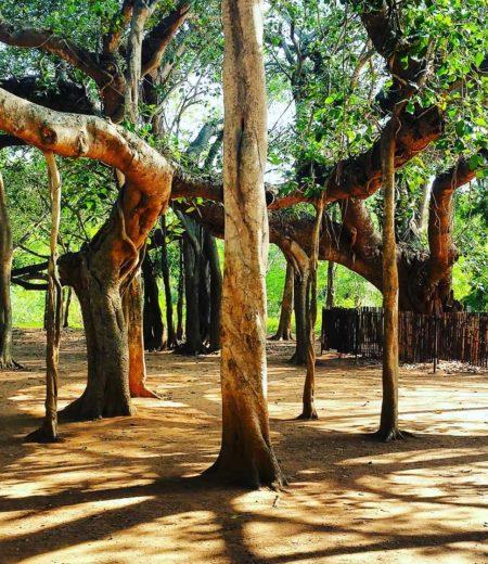 Баньян. Бессмертное дерево.